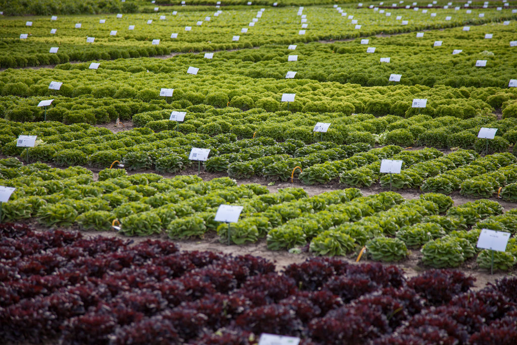 Demo field Fijnaart lettuce section